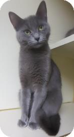 Russian Blue Cat for adoption in Lincolnton, North Carolina - Linda-