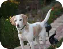 Beagle Dog for adoption in Elk Grove, California - Cache