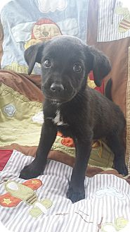 Labrador Retriever Mix Puppy for adoption in Mesa, Arizona - MIDNIGHT- 8 WEEK LAB MIX MALE!