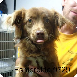 Spaniel (Unknown Type) Mix Dog for adoption in Manassas, Virginia - Esmeralda