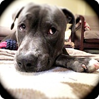 Adopt A Pet :: Noah- adoption pending - Phoenix, AZ