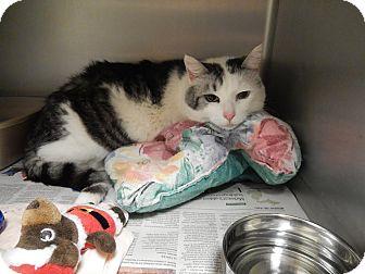 Domestic Shorthair Cat for adoption in Midland, Michigan - Gustavo - STRAY