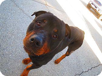 Rottweiler Dog for adoption in Caledon, Ontario - Ben