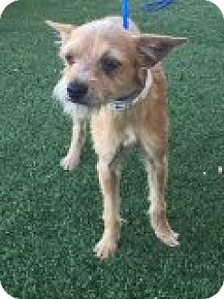 Terrier (Unknown Type, Small) Mix Puppy for adoption in Las Vegas, Nevada - Cierra
