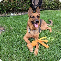 Adopt A Pet :: Dutch - Coral Springs, FL