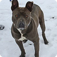 Pit Bull Terrier Mix Dog for adoption in Gardnerville, Nevada - Brian