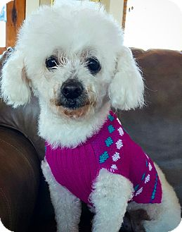 Poodle (Miniature) Dog for adoption in Fredericksburg, Texas - Maid Marion