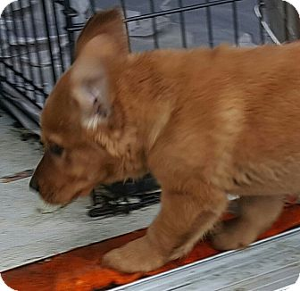 Dachshund Mix Puppy for adoption in Antioch, Illinois - Dutch - ADOPTED!!