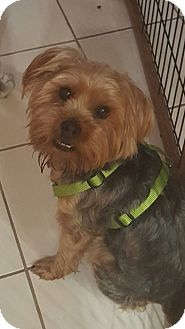 Silky Terrier Dog for adoption in Mary Esther, Florida - Bailey