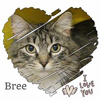 Maine Coon Kitten for adoption in Harrisburg, North Carolina - Bree