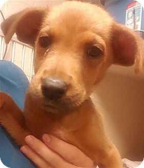 Shepherd (Unknown Type) Mix Puppy for adoption in Sedona, Arizona - Maci