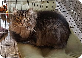 Maine Coon Cat for adoption in Irwin, Pennsylvania - Joey