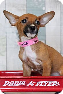 Terrier (Unknown Type, Small) Mix Puppy for adoption in Waldorf, Maryland - Jodi