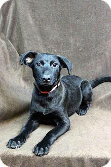 Labrador Retriever Mix Puppy for adoption in Westminster, Colorado - DAKOTA