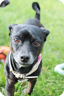 Terrier (Unknown Type, Small)/Dachshund Mix Dog for adoption in Davis, California - Coco