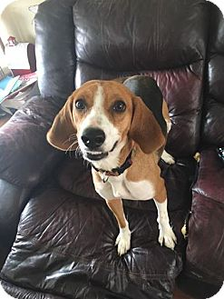 Beagle Mix Dog for adoption in Woodbridge, Virginia - Diamond
