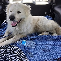 Adopt A Pet :: Bearron - Kyle, TX