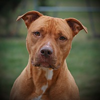 Pit Bull Terrier Mix Dog for adoption in Toms River, New Jersey - Honey