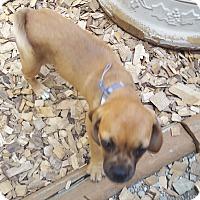 Adopt A Pet :: Aria - Algonquin, IL