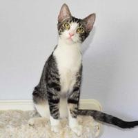 Adopt A Pet :: Tiger - Las Vegas, NV