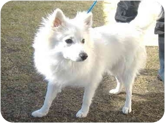 Spitz (Unknown Type, Small) Dog for adoption in Waxahachie, Texas - Spinner