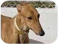 Greyhound Dog for adoption in St Petersburg, Florida - Heffy