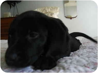 Labrador Retriever Mix Puppy for adoption in Rochester, New Hampshire - Brit