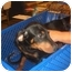 Photo 3 - Doberman Pinscher/Rottweiler Mix Puppy for adoption in Mesa, Arizona - Rotti/Dobie