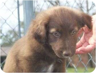 Labrador Retriever/Hound (Unknown Type) Mix Puppy for adoption in Londonderry, New Hampshire - Coffee