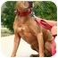 Photo 3 - American Pit Bull Terrier/Labrador Retriever Mix Dog for adoption in Sherman Oaks, California - Precious