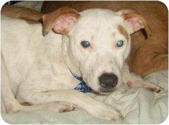 Dalmatian/Bull Terrier Mix Puppy for adoption in Sacramento, California - Spotty Dottie NEEDS A HOME NOW