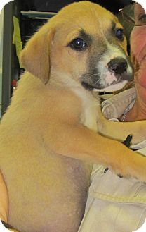 Labrador Retriever Mix Puppy for adoption in Pompton Lakes, New Jersey - Sandie