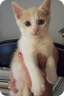 Domestic Shorthair Kitten for adoption in Reston, Virginia - Butterscotch