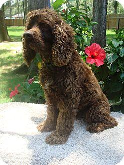 Cocker Spaniel Dog for adoption in Sugarland, Texas - Connor