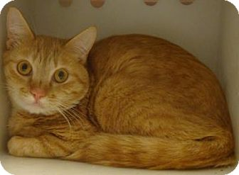 Domestic Shorthair Cat for adoption in Gainesville, Florida - Colby