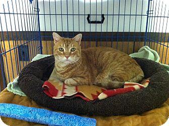 Domestic Shorthair Cat for adoption in Hamburg, New York - Charlie