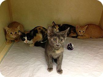 Calico Kitten for adoption in Dallas, Texas - Pebbles
