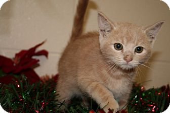 American Shorthair Kitten for adoption in Spring Valley, New York - Prancer