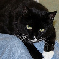 Domestic Shorthair Cat for adoption in Naples, Florida - Betsy