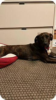 Labrador Retriever/Boxer Mix Dog for adoption in Gainesville, Georgia - dawson