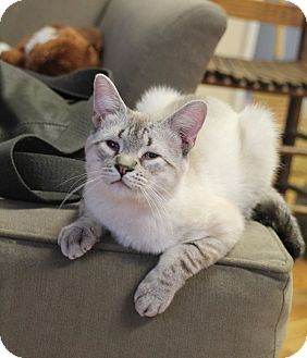 Siamese Cat for adoption in Knoxville, Tennessee - Ming