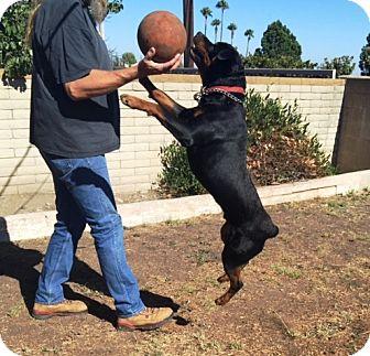 Rottweiler Dog for adoption in Murrieta, California - Rocky