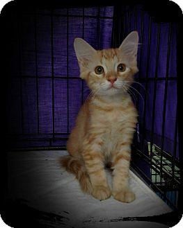 Domestic Mediumhair Kitten for adoption in Richmond, Virginia - Grace