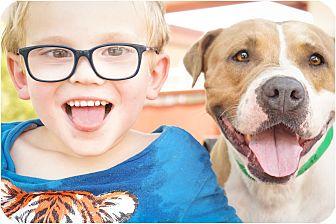 Staffordshire Bull Terrier/American Bulldog Mix Dog for adoption in Phoenix, Arizona - Allspice