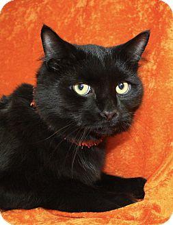 Domestic Mediumhair Cat for adoption in Jackson, Michigan - Gust