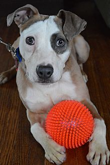 Terrier (Unknown Type, Medium)/Pit Bull Terrier Mix Dog for adoption in Toledo, Ohio - Gumbo