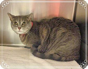 Domestic Shorthair Cat for adoption in Marietta, Georgia - NATALIE