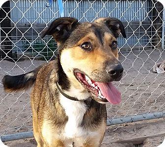 Australian Cattle Dog/American Bulldog Mix Dog for adoption in Greeley, Colorado - Bolt
