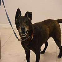 German Shepherd Dog Mix Dog for adoption in Malabar, Florida - Nina
