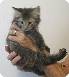 Domestic Mediumhair Kitten for adoption in Mims, Florida - Poofy